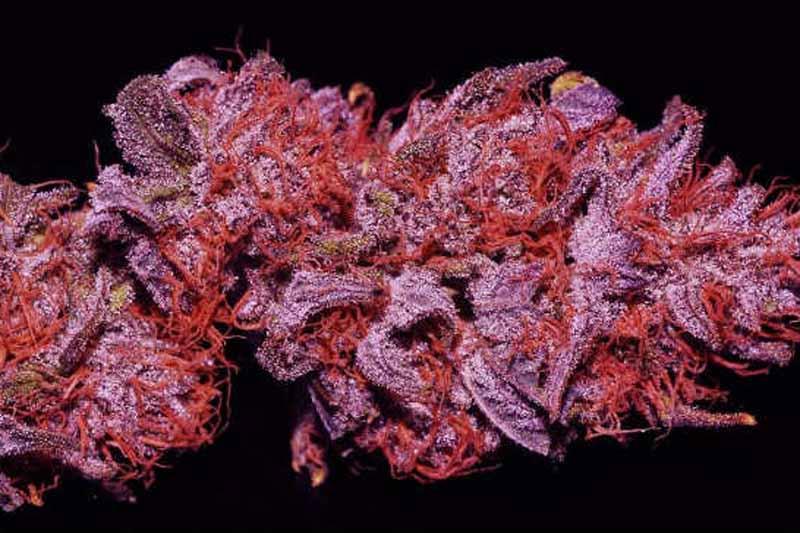 purple bud autofloraison pas cher