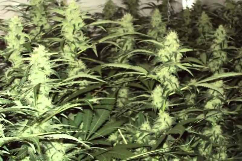 white widow reguliere pas cher
