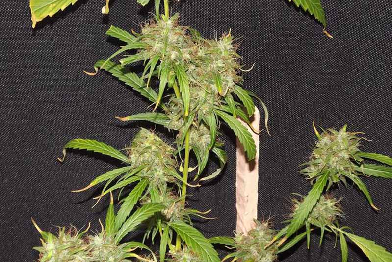 achat mexican sativa