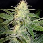 mexican sativa pas cher