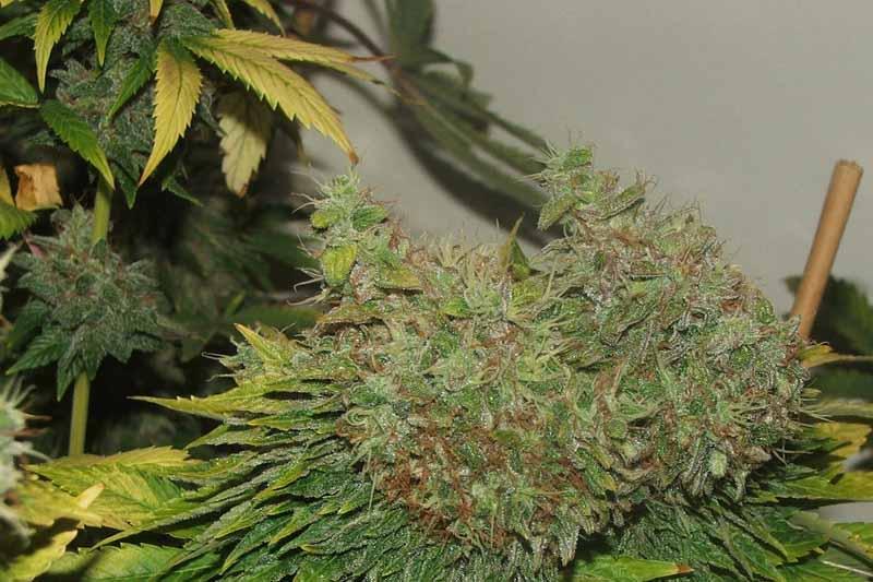 achat mr nice g13 x hash plant