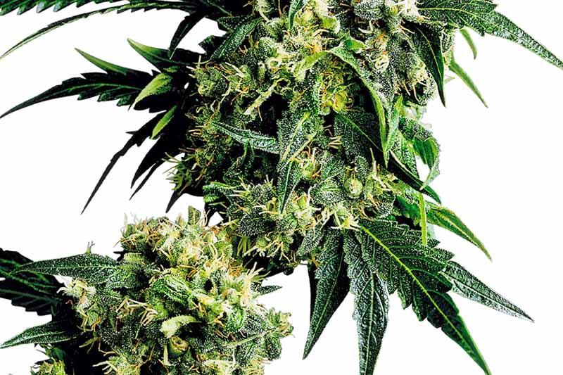 acheter mr nice g13 x hash plant