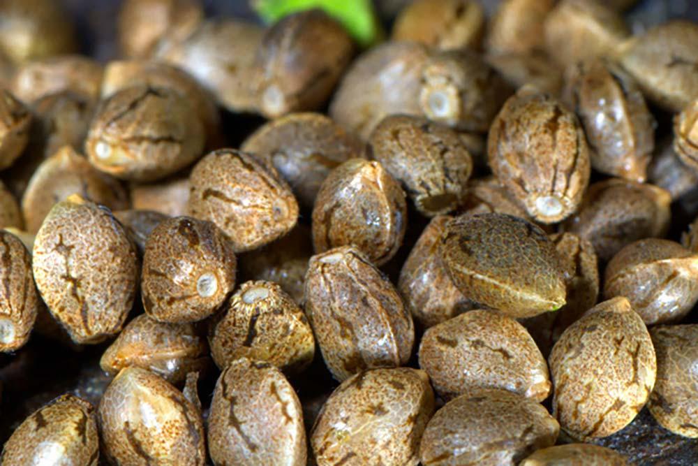 Comment faire germer la graine de cannabis ?