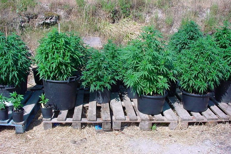 Comment faire pousser du cannabis en extérieur ?