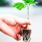 Comment faire une bouture de cannabis ?