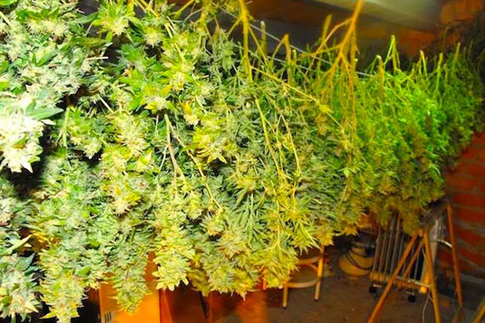 Comment sécher le cannabis ?