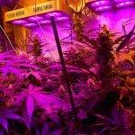 Quelle lampe pour cannabis ?