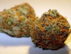 Orange Bud régulière informations variété