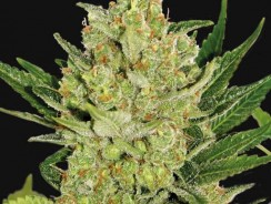 Blue Cheese Autofloraison informations variété