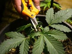 Comment tailler la plante de cannabis ?